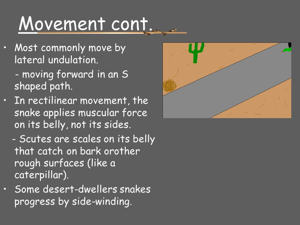 Movement cont. Most commonly move by lateral undulation.