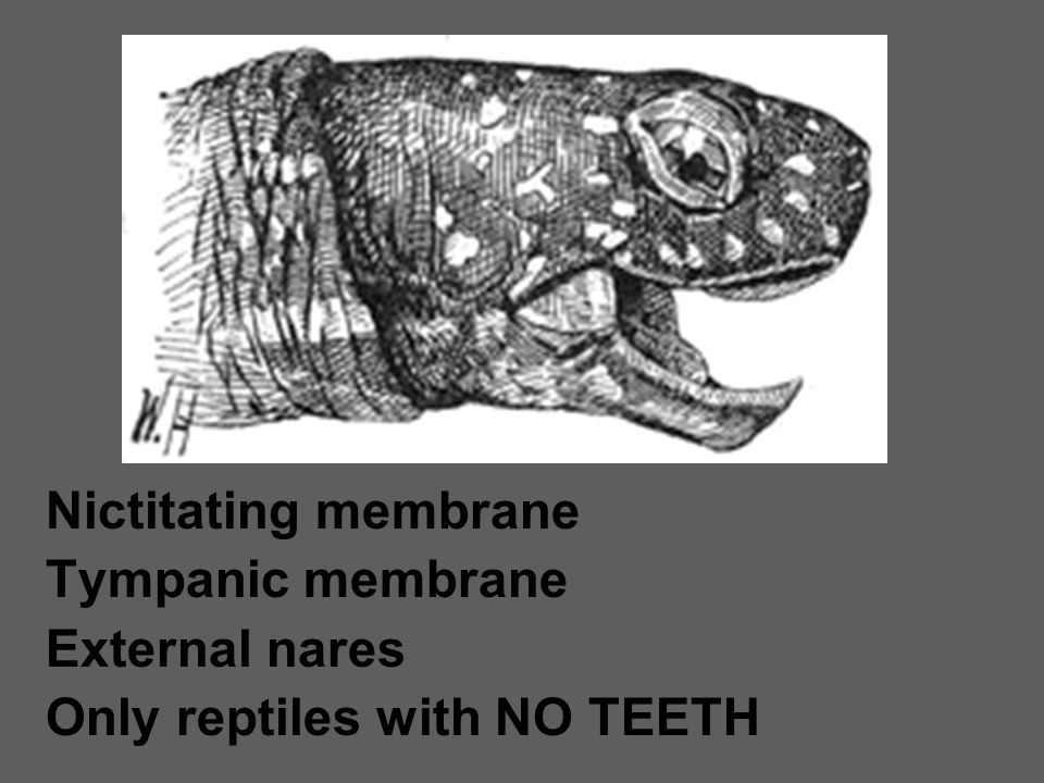 Nictitating membrane Tympanic membrane External nares Only reptiles with NO TEETH