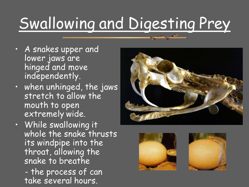 Swallowing and Digesting Prey