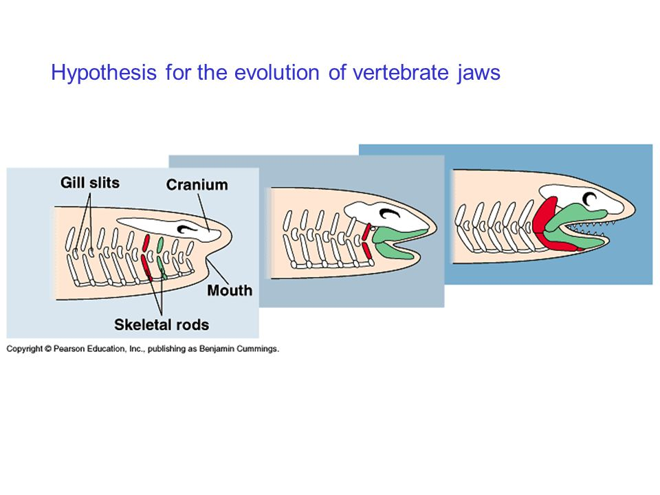 Hypothesis for the evolution of vertebrate jaws