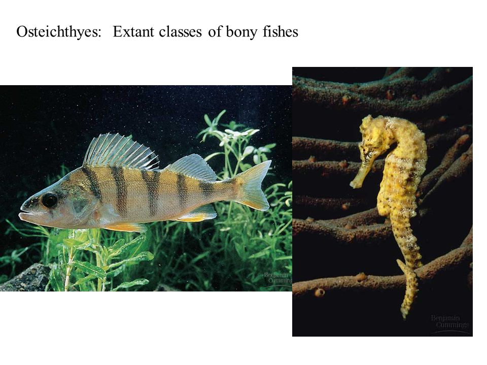 Osteichthyes: Extant classes of bony fishes