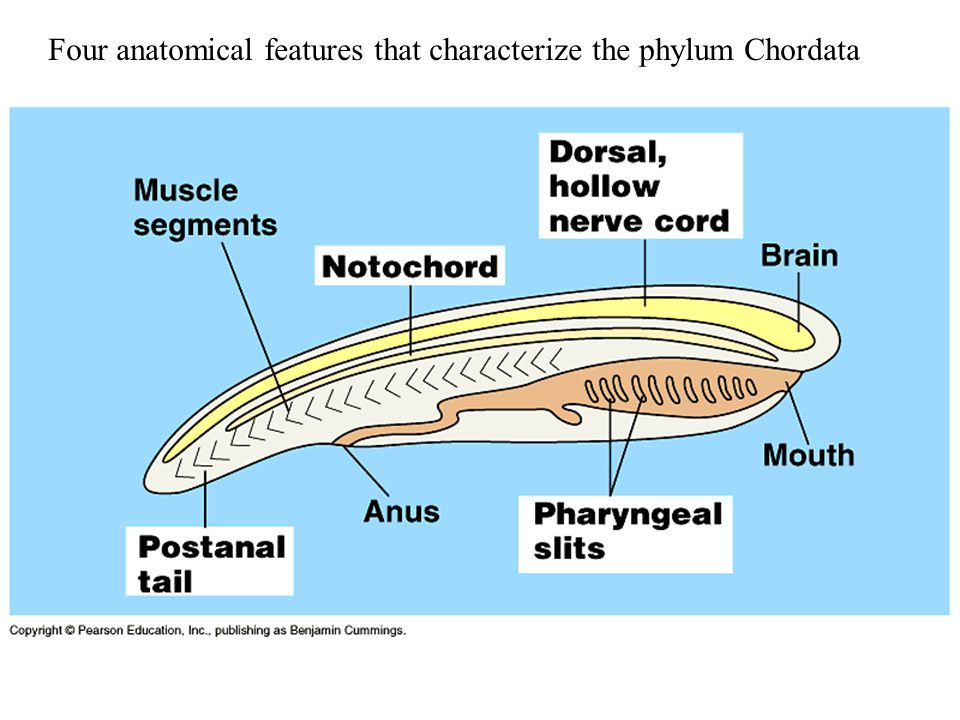 Four anatomical features that characterize the phylum Chordata