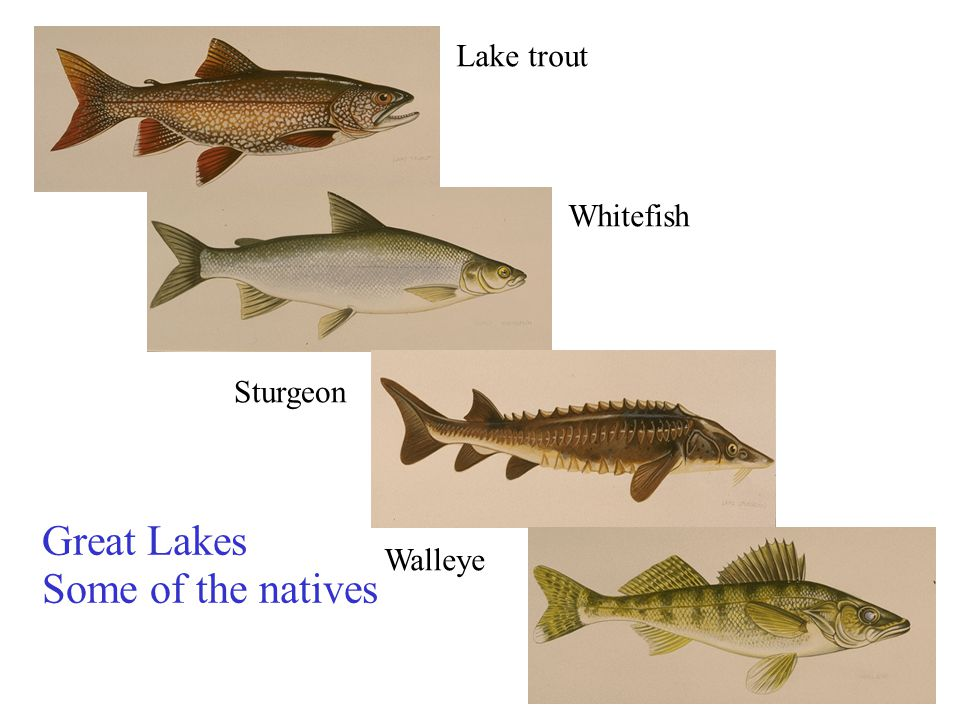Lake trout Whitefish Sturgeon Great Lakes Walleye Some of the natives