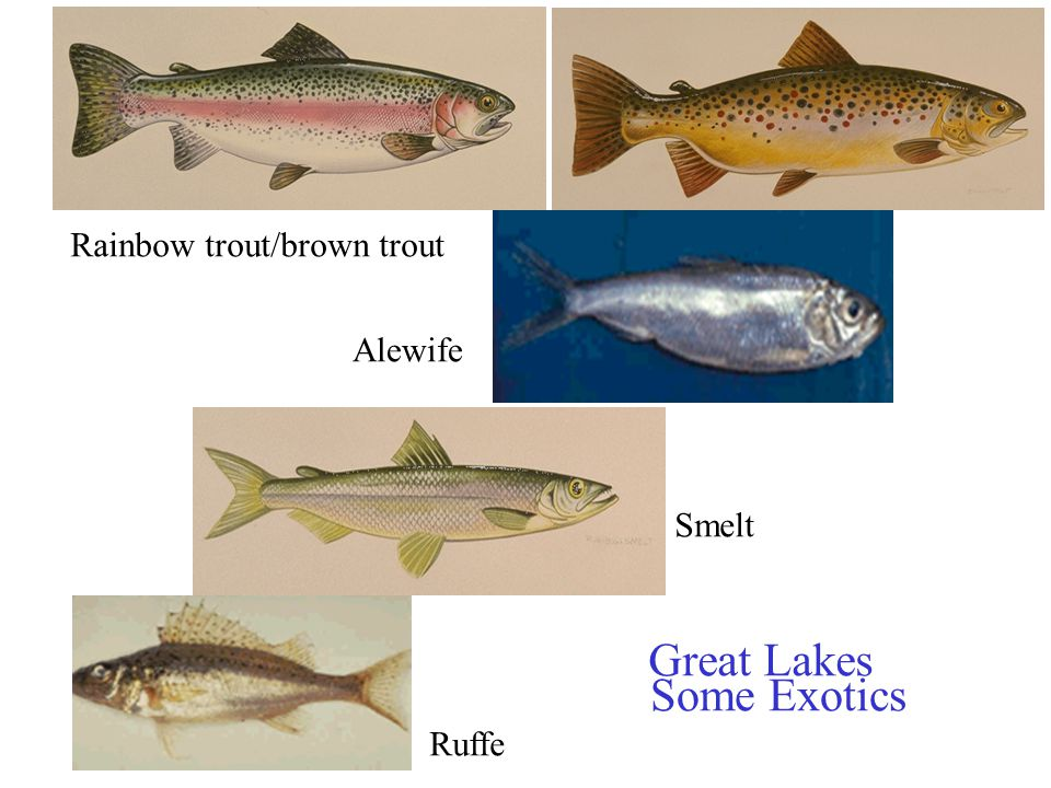 Rainbow trout/brown trout