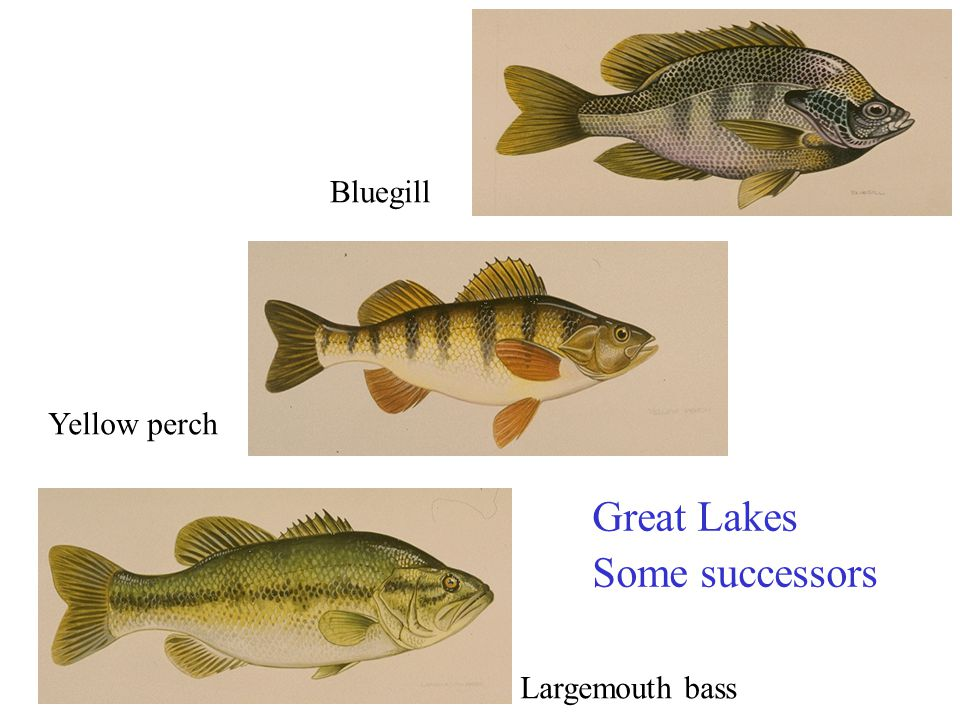 Bluegill Yellow perch Great Lakes Some successors Largemouth bass