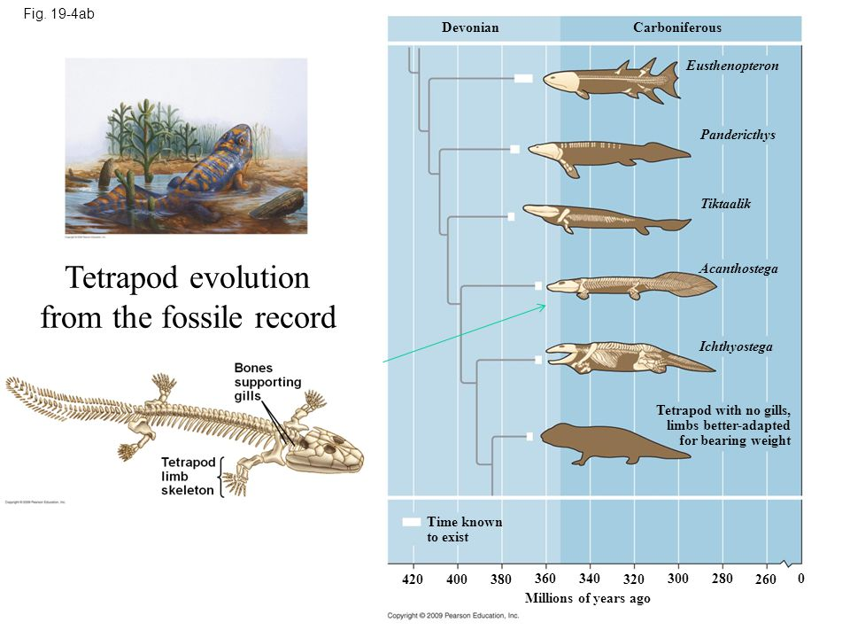 Tetrapod evolution from the fossile record