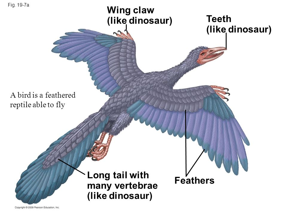 Wing claw (like dinosaur) Teeth (like dinosaur) Long tail with