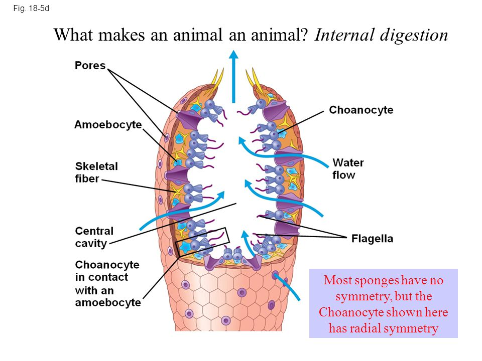 What makes an animal an animal Internal digestion