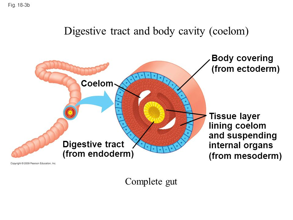 Digestive tract and body cavity (coelom)