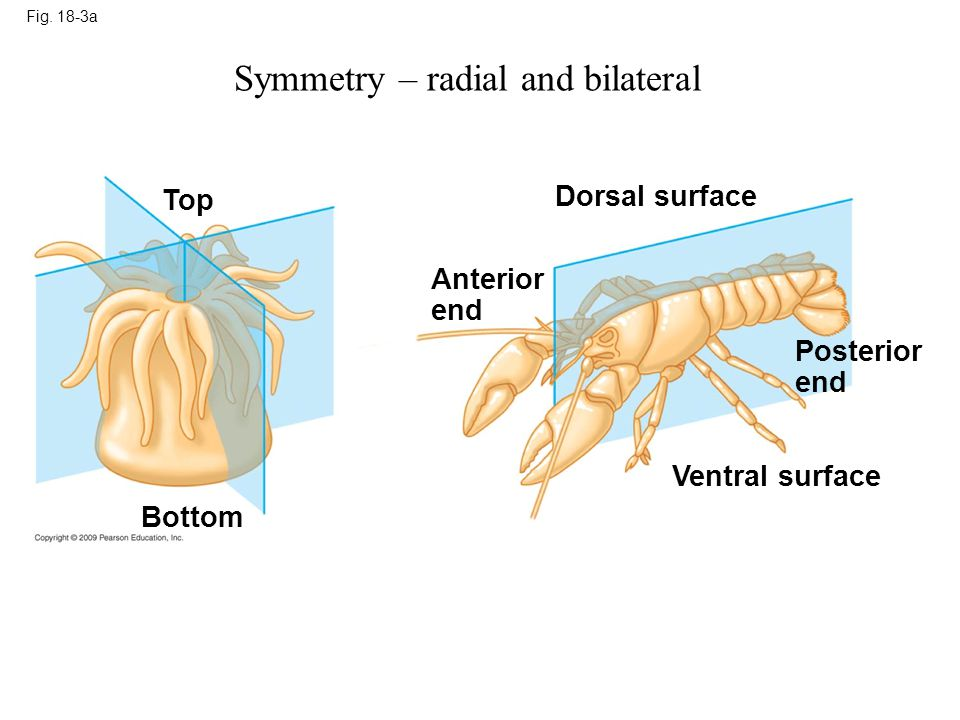 Symmetry – radial and bilateral