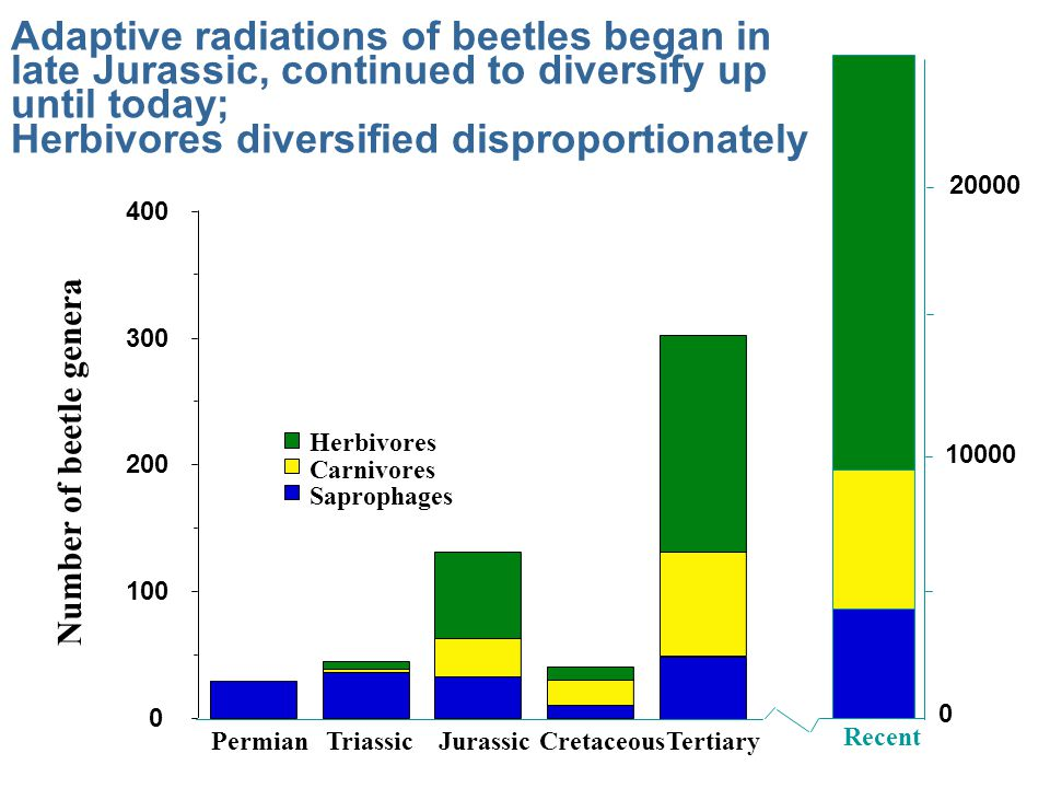 Adaptive radiations of beetles began in late Jurassic, continued to diversify up until today; Herbivores diversified disproportionately