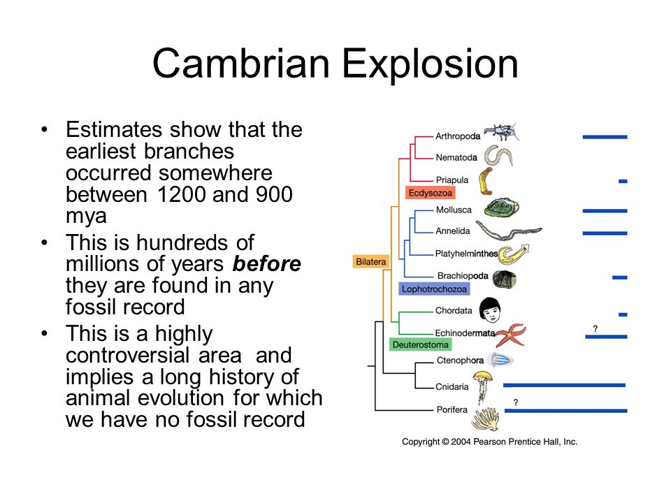 Cambrian Explosion Estimates show that the earliest branches occurred somewhere between 1200 and 900 mya.