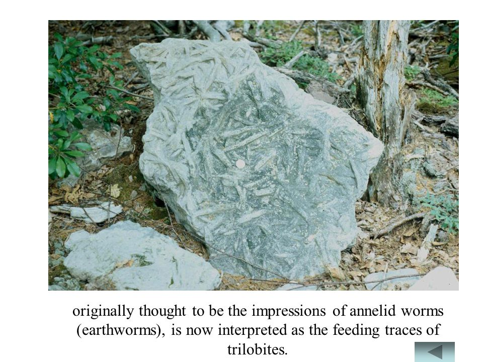 originally thought to be the impressions of annelid worms (earthworms), is now interpreted as the feeding traces of trilobites.