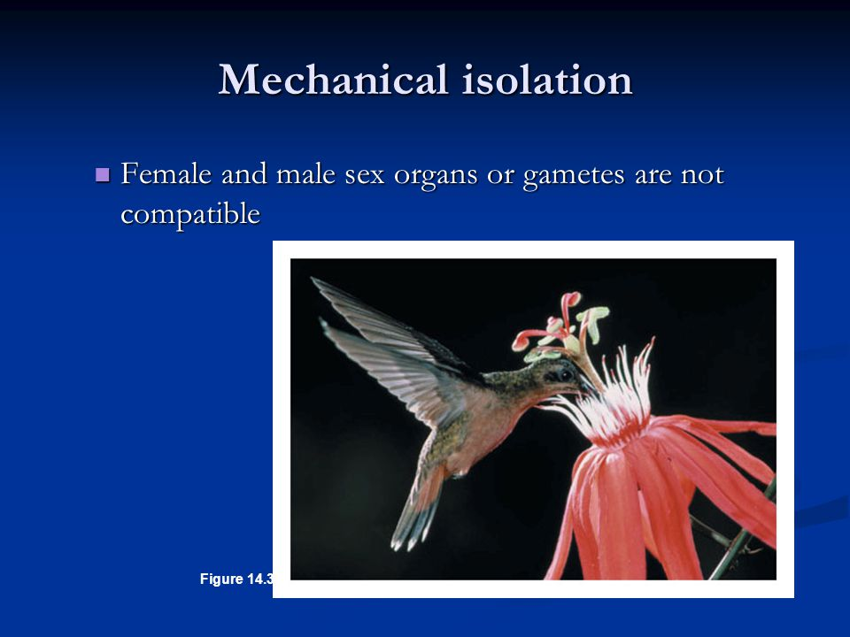 Mechanical isolation Female and male sex organs or gametes are not compatible Figure 14.3C