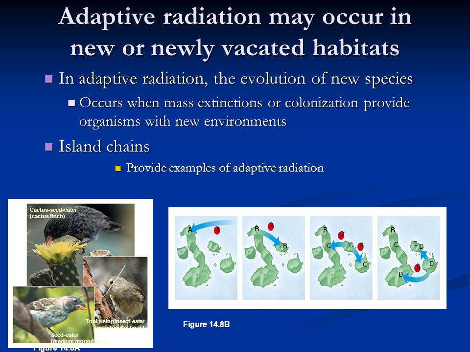 Adaptive radiation may occur in new or newly vacated habitats