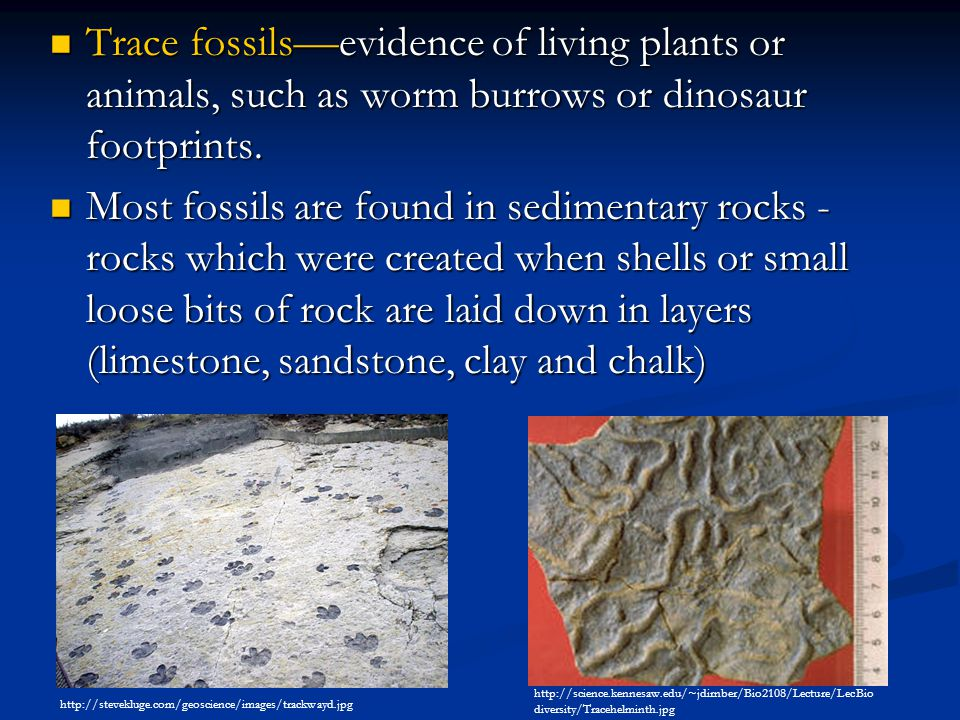 Trace fossils—evidence of living plants or animals, such as worm burrows or dinosaur footprints.