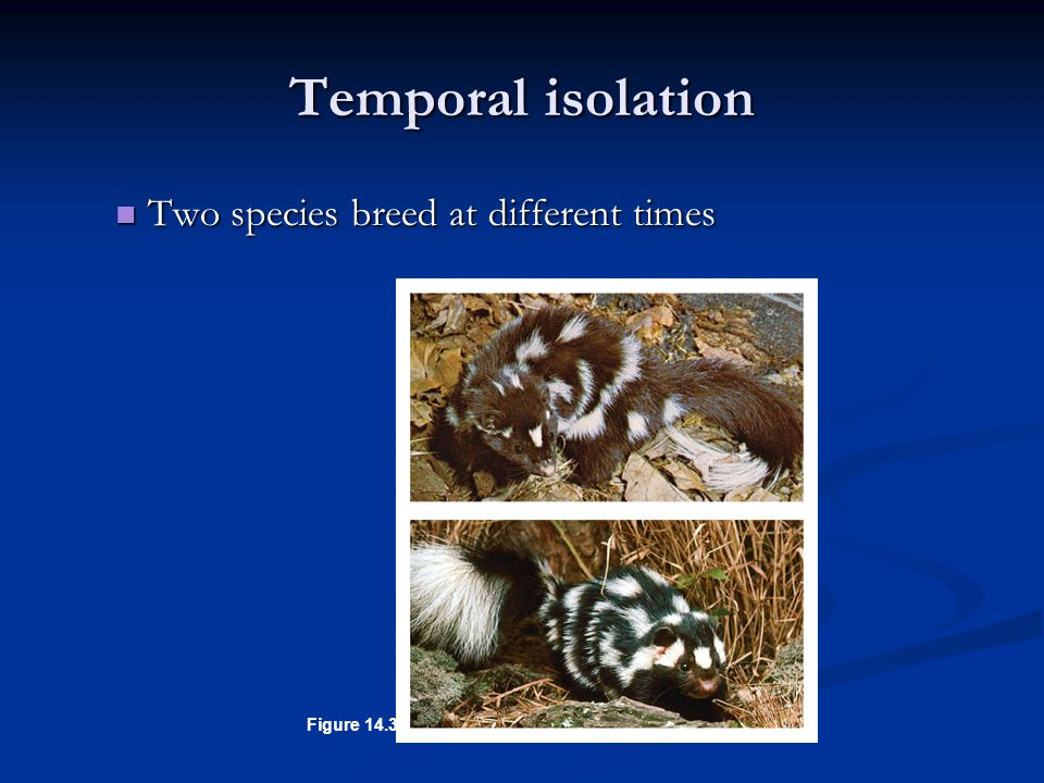 Temporal isolation Two species breed at different times Figure 14.3A