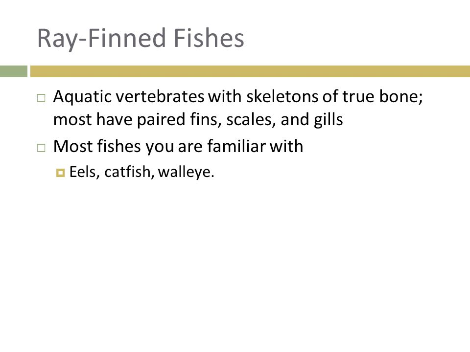 Ray-Finned Fishes Aquatic vertebrates with skeletons of true bone; most have paired fins, scales, and gills.