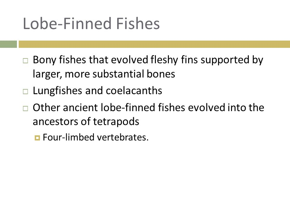Lobe-Finned Fishes Bony fishes that evolved fleshy fins supported by larger, more substantial bones.