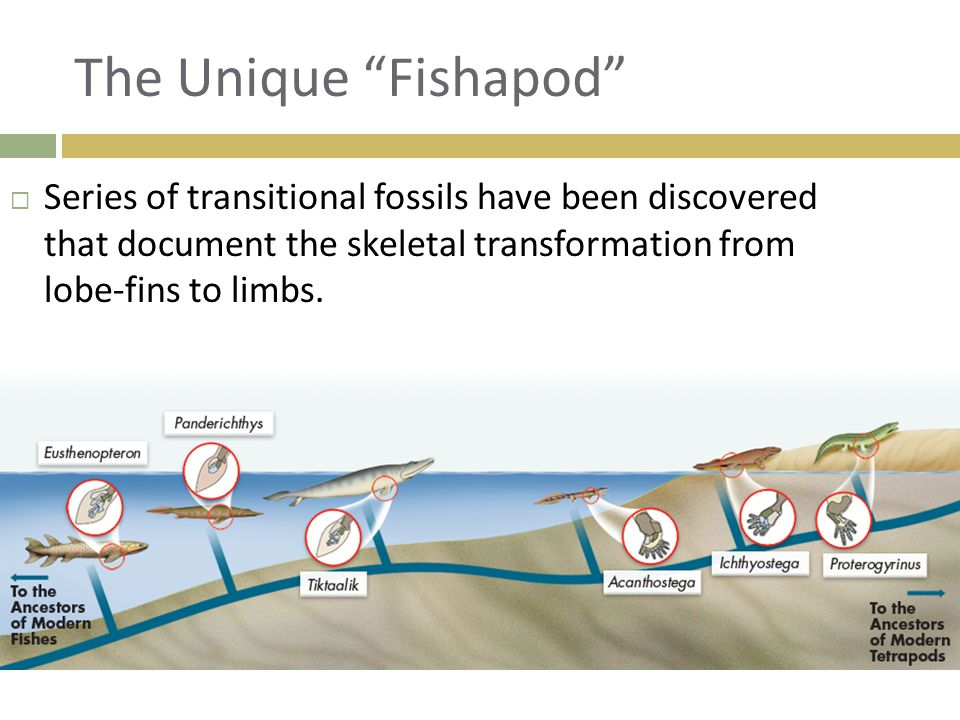 The Unique Fishapod Series of transitional fossils have been discovered that document the skeletal transformation from lobe-fins to limbs.