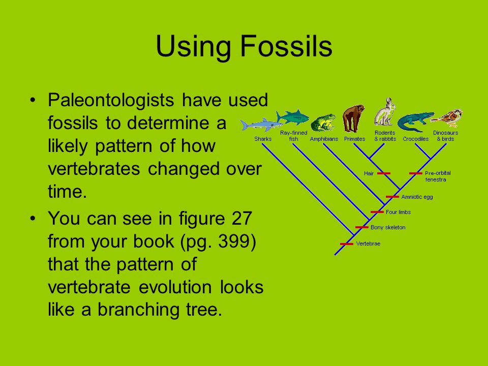 Using Fossils Paleontologists have used fossils to determine a likely pattern of how vertebrates changed over time.