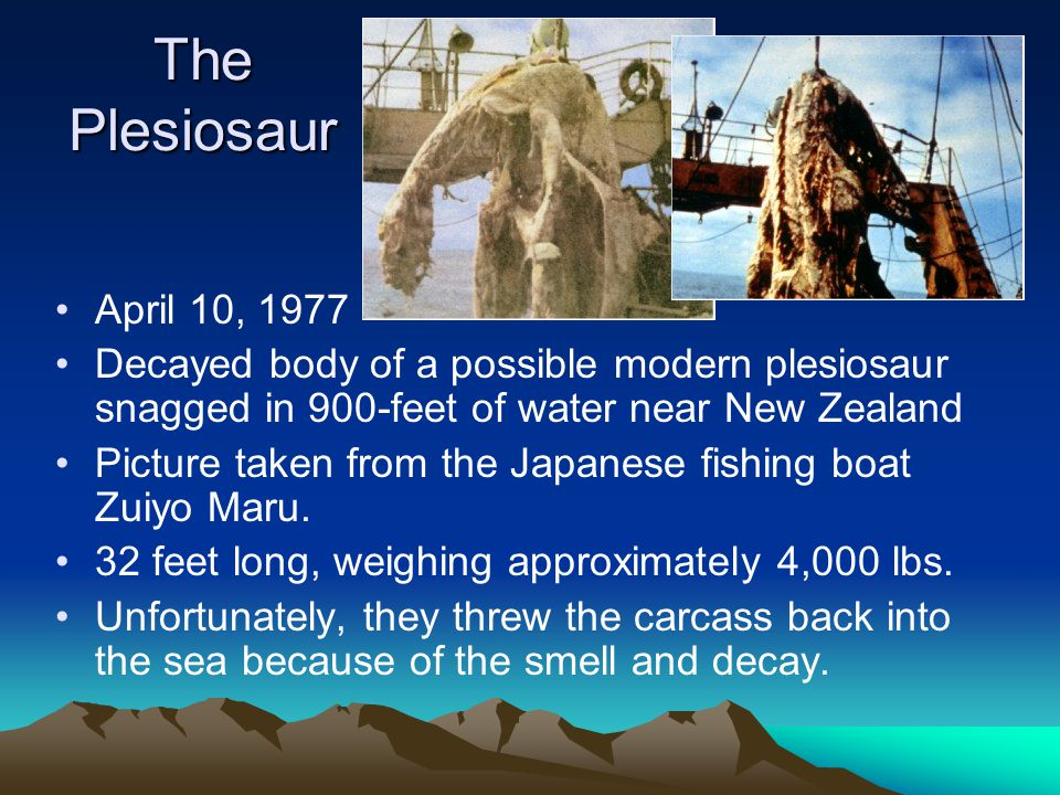 The Plesiosaur April 10, 1977. Decayed body of a possible modern plesiosaur snagged in 900-feet of water near New Zealand.