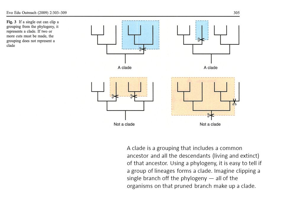 A clade is a grouping that includes a common ancestor and all the descendants (living and extinct) of that ancestor.
