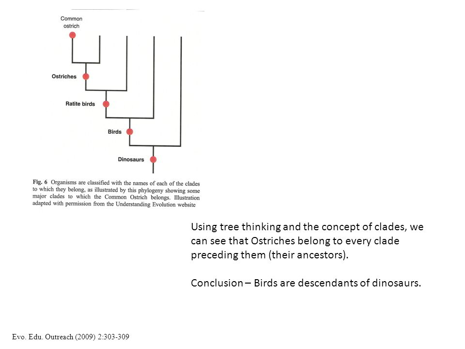 Conclusion – Birds are descendants of dinosaurs.