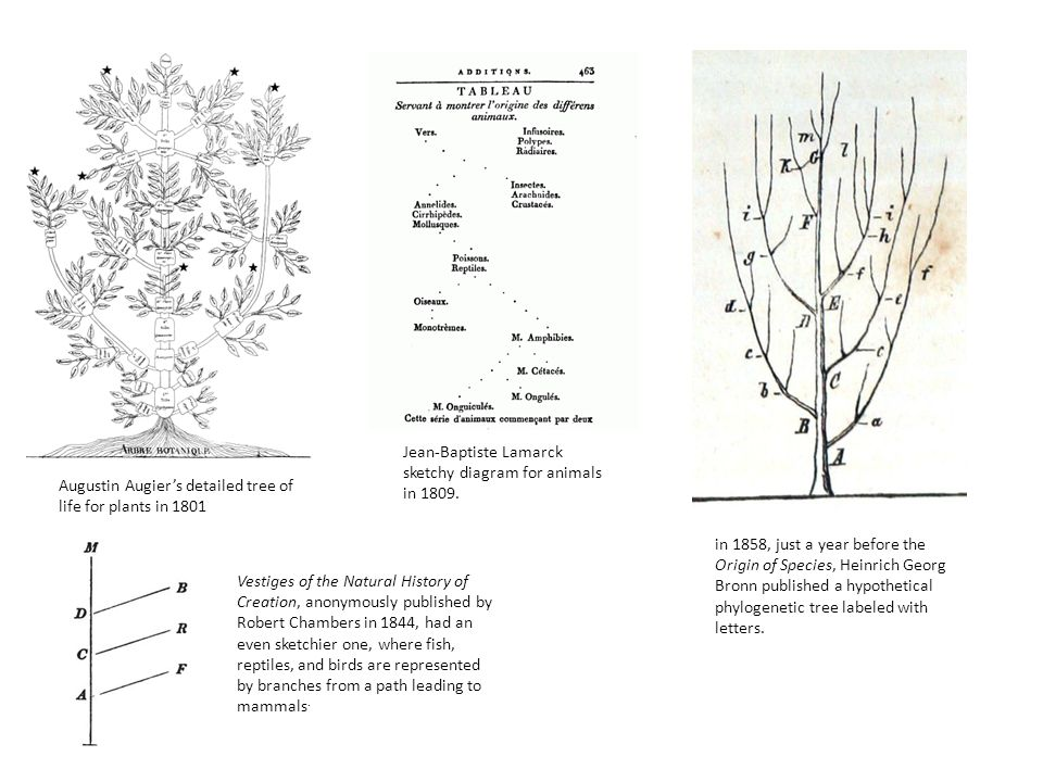 Jean-Baptiste Lamarck sketchy diagram for animals in 1809.