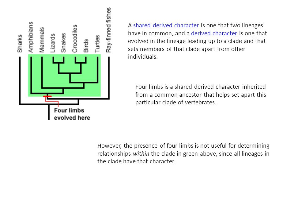 A shared derived character is one that two lineages have in common, and a derived character is one that evolved in the lineage leading up to a clade and that sets members of that clade apart from other individuals.