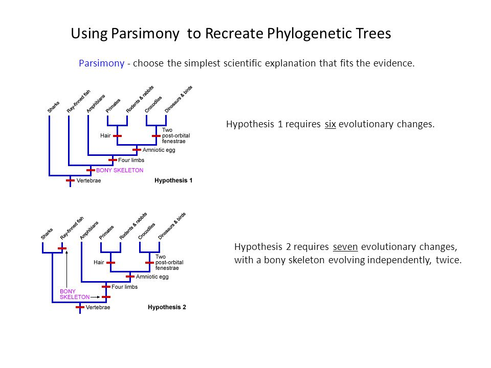 Using Parsimony to Recreate Phylogenetic Trees