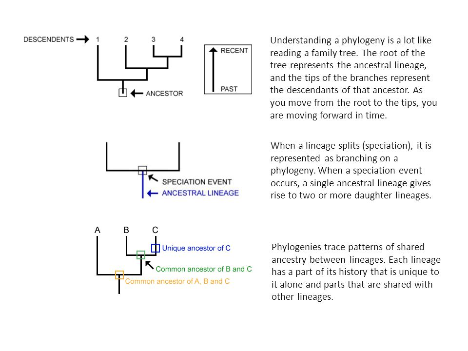 Understanding a phylogeny is a lot like reading a family tree