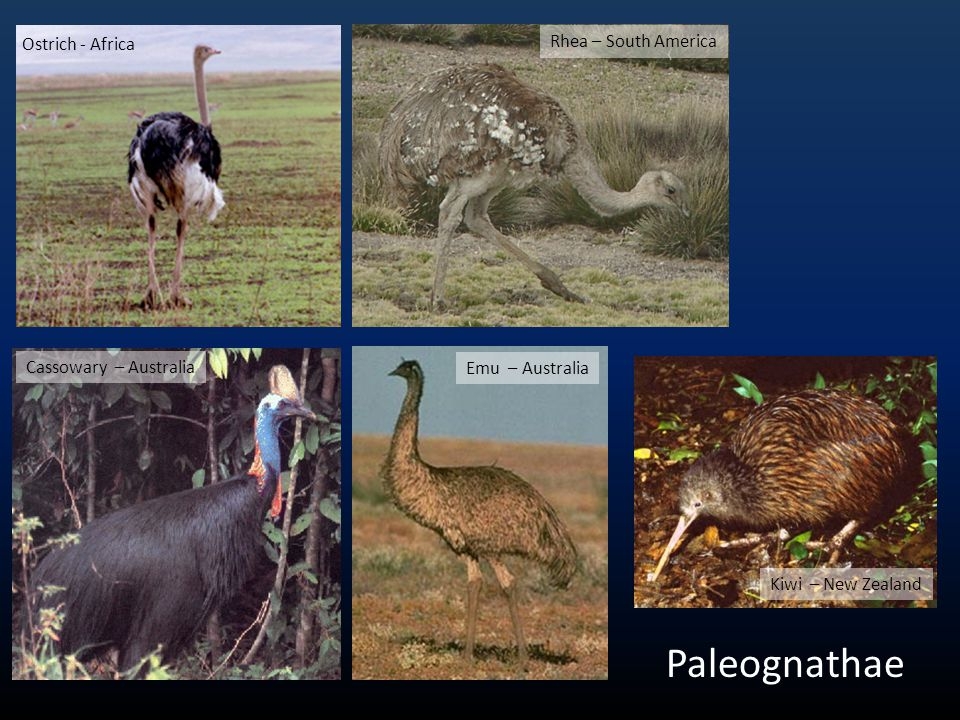 Paleognathae Ostrich - Africa Rhea – South America