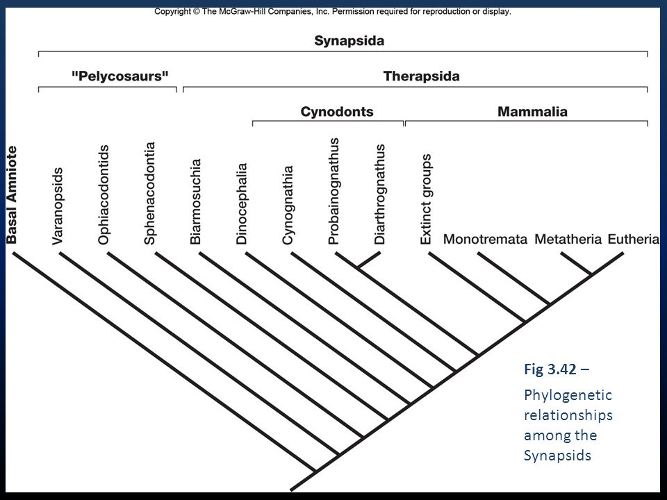 Fig 3.42 – Phylogenetic relationships among the Synapsids