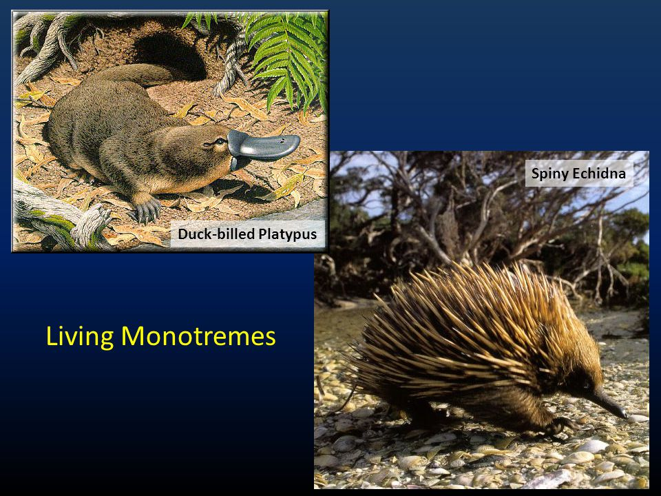 Spiny Echidna Duck-billed Platypus Living Monotremes