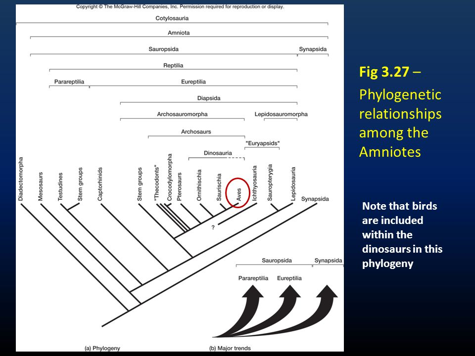 Fig 3.27 – Phylogenetic relationships among the Amniotes