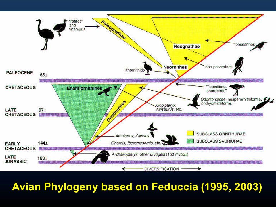 Avian Phylogeny based on Feduccia (1995, 2003)