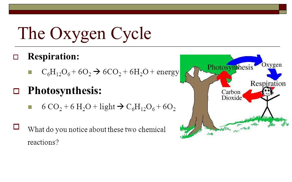 The Oxygen Cycle Photosynthesis: