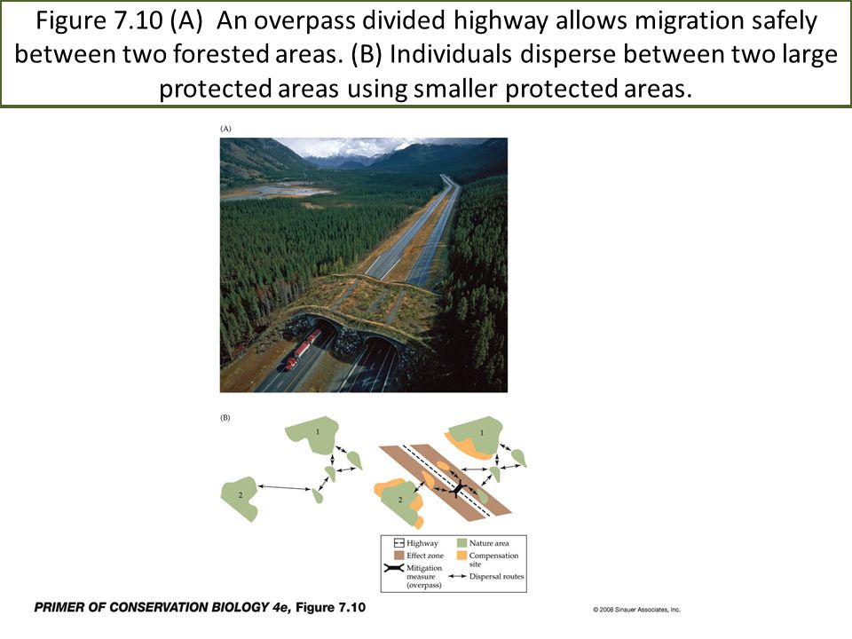 Figure 7.10 (A) An overpass divided highway allows migration safely between two forested areas. (B) Individuals disperse between two large protected areas using smaller protected areas.