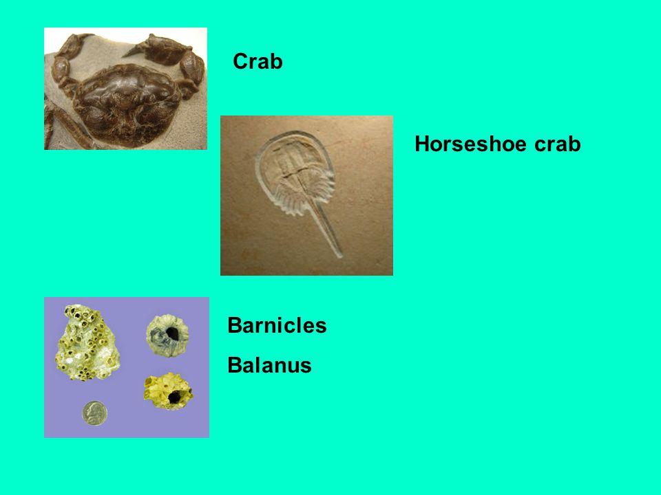 Crab Horseshoe crab Barnicles Balanus