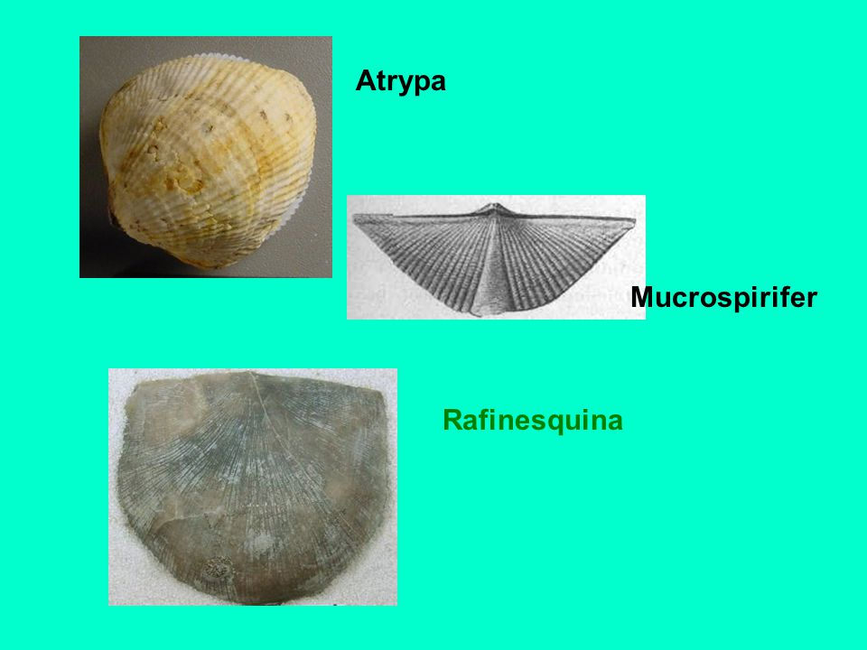 Atrypa Mucrospirifer Rafinesquina