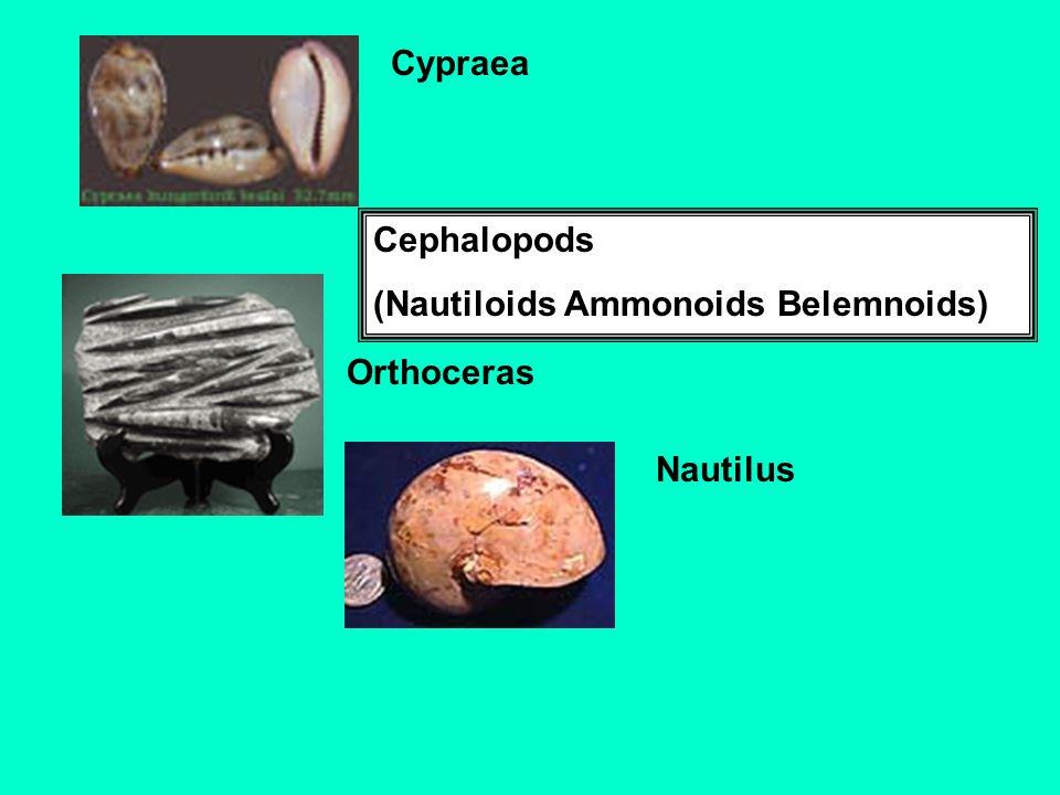 Cypraea Cephalopods (Nautiloids Ammonoids Belemnoids) Orthoceras Nautilus