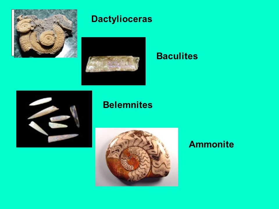 Dactylioceras Baculites Belemnites Ammonite
