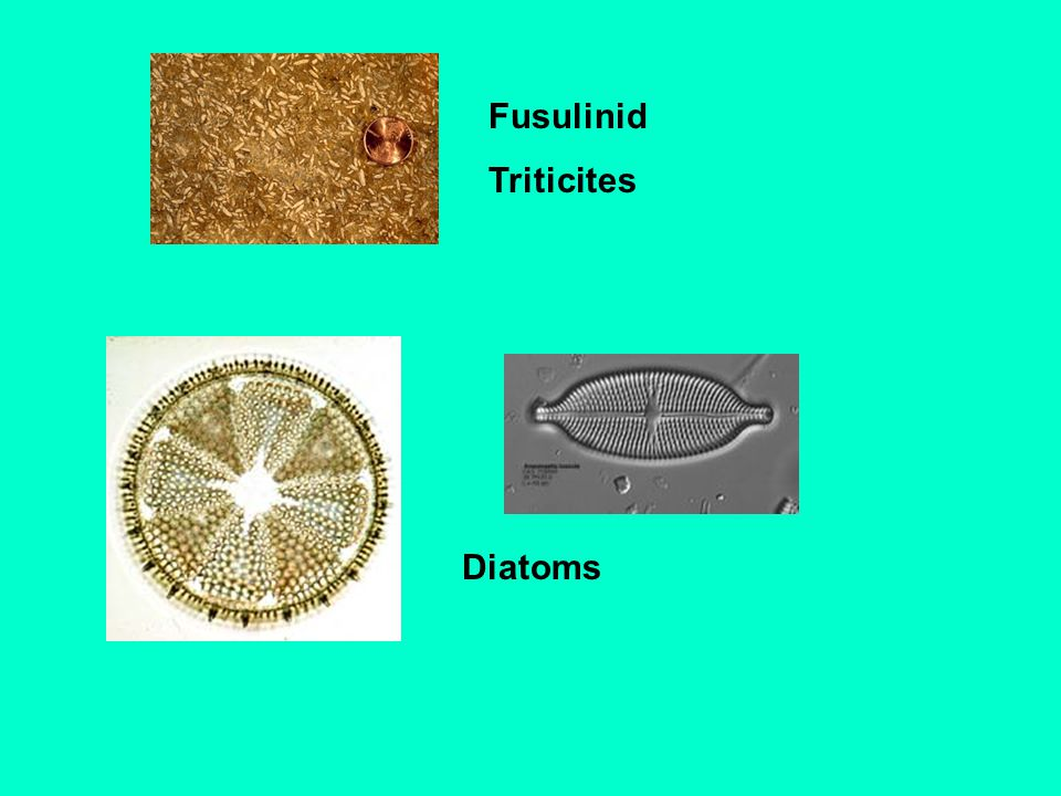 Fusulinid Triticites Diatoms