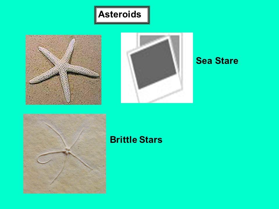 Asteroids Sea Stare Brittle Stars