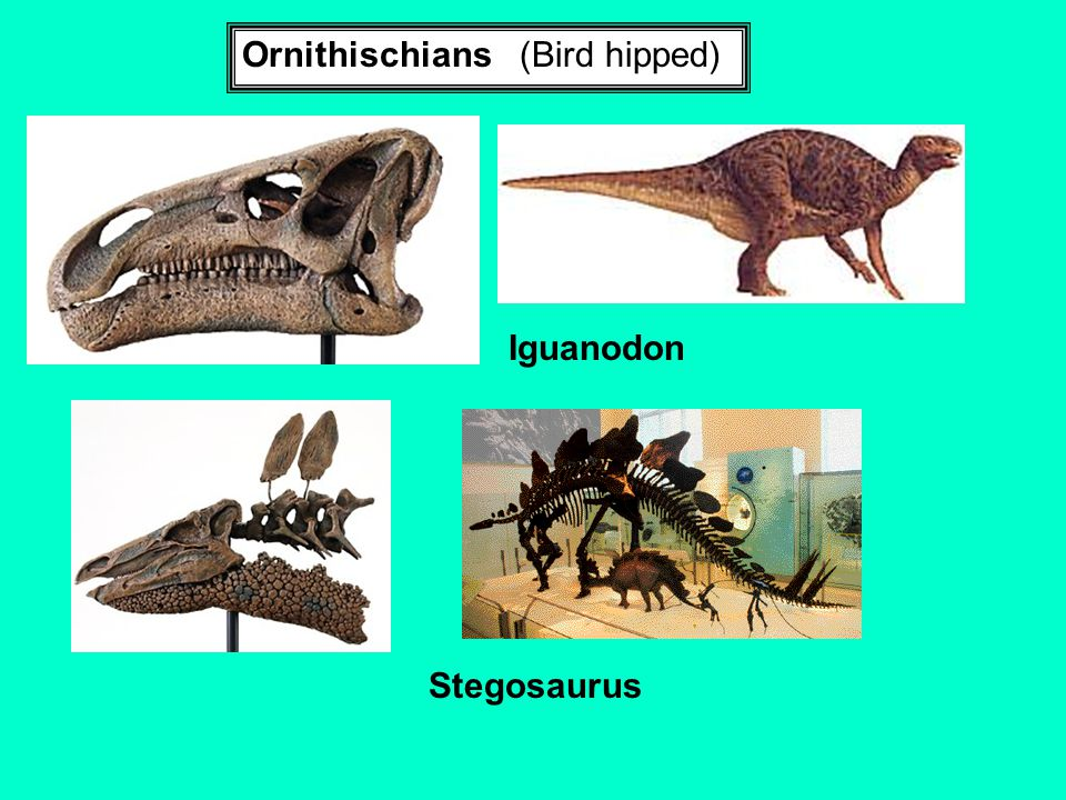 Ornithischians (Bird hipped)