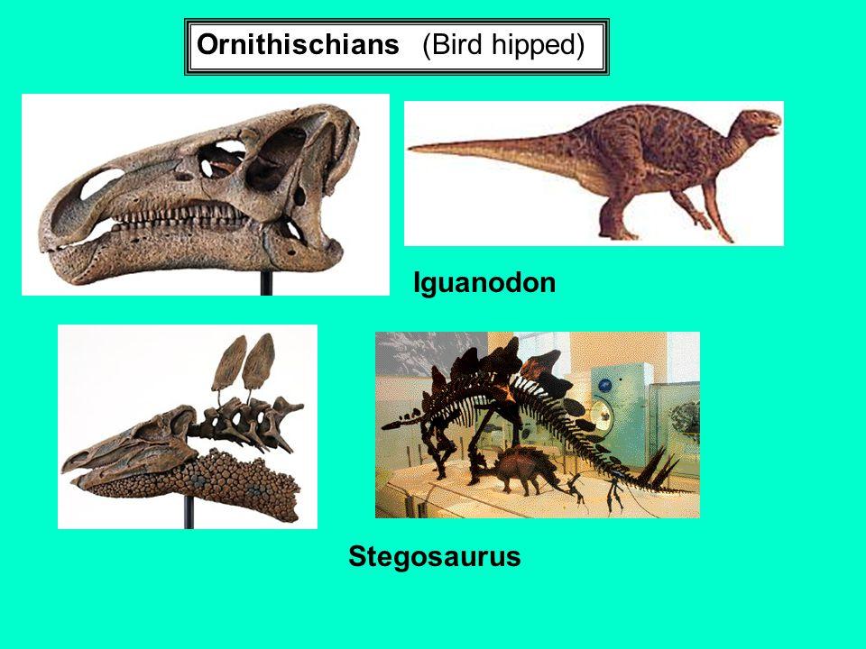 Ornithischians (Bird hipped)