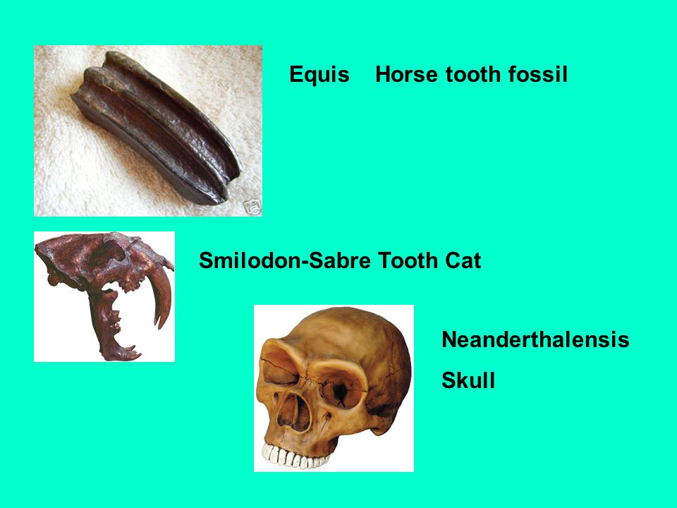 Equis Horse tooth fossil