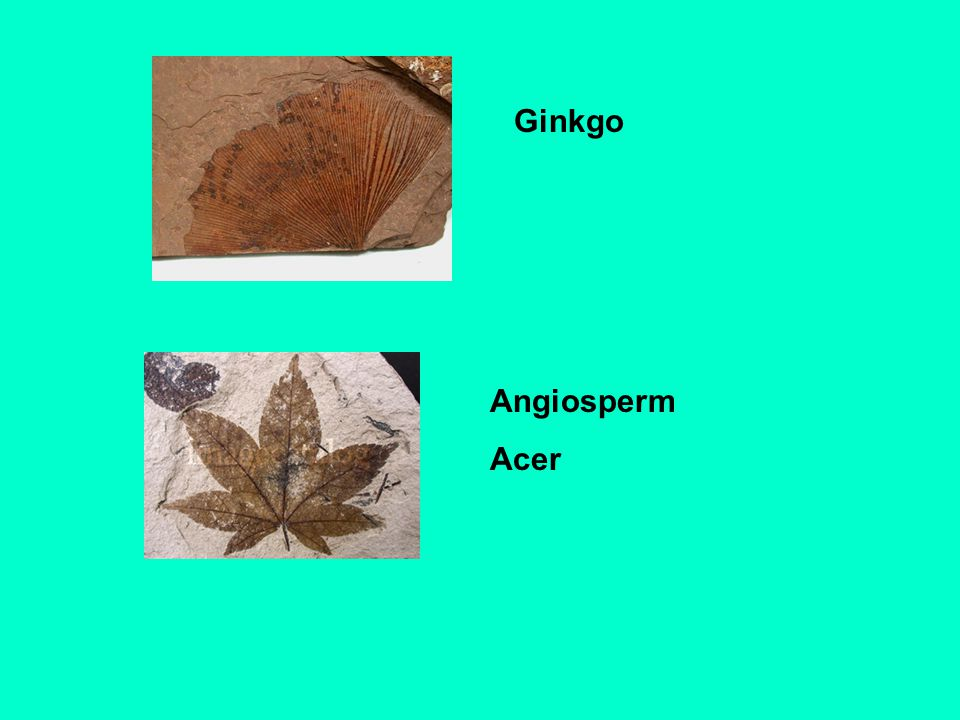Ginkgo Angiosperm Acer