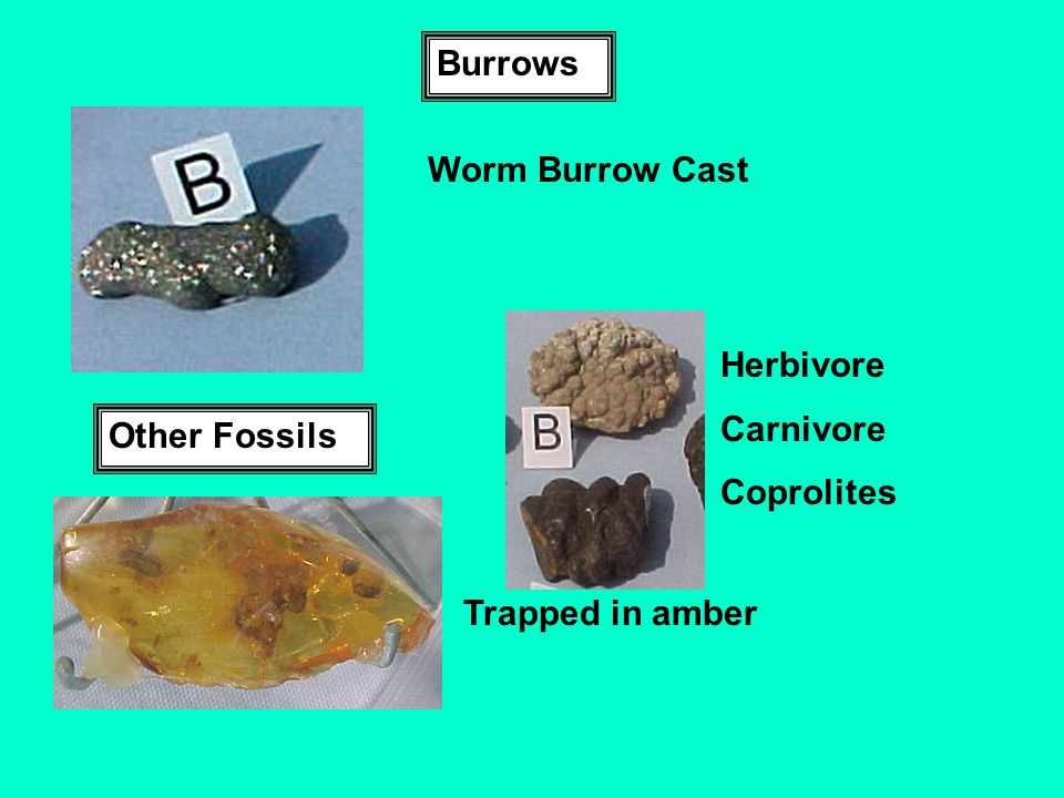 Burrows Worm Burrow Cast Herbivore Carnivore Coprolites Other Fossils Trapped in amber
